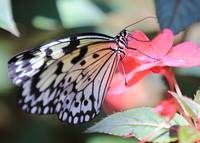 Paper Kite Butterfly on Pink Flower