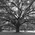 """Live Oak in Black and White"" by Groecar"