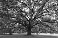 Live Oak in Black and White