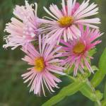 """Wild Aster Flowers"" by artsandi"