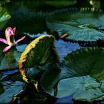 """""""Waterlily Solo"""" by ChrisCrowley"""