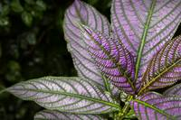 Purple and Green Foliage
