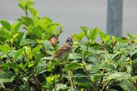 Rufous Collared Sparrow Looking