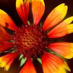 """Gaillardia Flower"" by KsWorldArt"