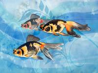 Three Watercolor Fantail Goldfish