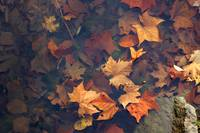 Autumn Leaves in Pond