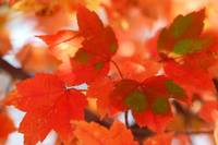Autumn Joy Red Maple Leaves