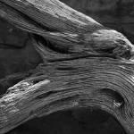"""Royal Deadwood Study 2"" by robertmeyerslussier"
