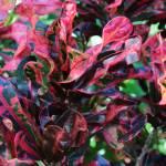 """""""Curly Leaf Croton"""" by Groecar"""