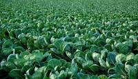 Brussel Sprout Crop