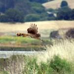 """""""Flying Hawk"""" by rubybgold"""