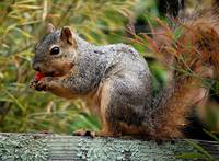 Squirrel with Plum