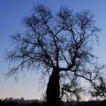 """Bolinas Tree Silhouette"" by rubybgold"