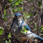 """Western Scrub Jay Builds Next"" by rubybgold"
