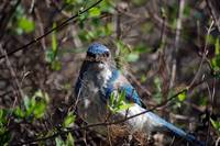 Western Scrub Jay Builds Next