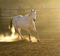 White Horse in Corral Kicking up the Dust