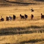 """Wrangling Horses in the Golden Grass of Early Morn"" by SamSherman"