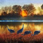 """a few ripples on still water cranes"" by rchristophervest"
