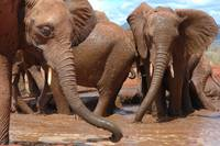 Muddy Young Elephants (2)