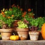 """Marigolds and Pumpkins"" by susansartgallery"