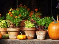 Marigolds and Pumpkins