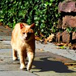 """Orange Tabby Taking a Walk"" by susansartgallery"