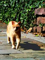 Orange Tabby Taking a Walk