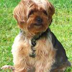 """Yorkshire Terrier in Park"" by susansartgallery"