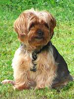 Yorkshire Terrier in Park