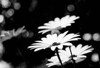 Daisy in black and white.