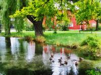 Ducks on Pond