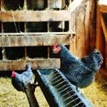 """In the Chicken Coop"" by susansartgallery"