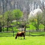 """""""Cow Grazing in Pasture in Spring"""" by susansartgallery"""