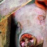 """Pig Sleeping"" by susansartgallery"