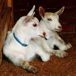 """Two Baby Goats"" by susansartgallery"