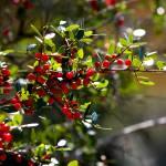 """""""Backlit Red Berries"""" by Groecar"""