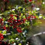 """Backlit Red Berries"" by Groecar"