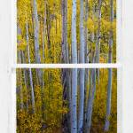 """Gold Aspen Forest White Rustic Window View"" by lightningman"