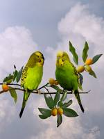 Two Parakeets in Kumquat Tree