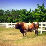 """Texas Longhorn On The Hoof"" by JoyceDickens"