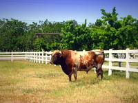 Texas Longhorn On The Hoof