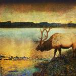 """a cool drink bull elk twilight"" by rchristophervest"
