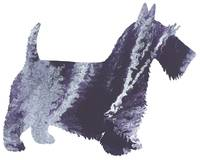 Scotch terrier 7