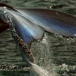 """Humpback Whale Fluke"" by Black_White_Photos"