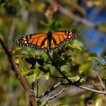 """Monarch Wide Open"" by rubybgold"