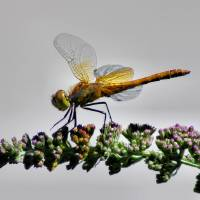 Dragonfly Art Prints & Posters by Marissa Nagel