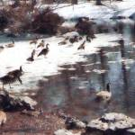 """Geese on an Icy Pond"" by susansartgallery"