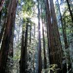 """Redwood Forest"" by Wintercreeks"