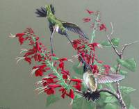 Blackchin Hummingbird