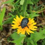 """Beetle on a Dandelion"" by rhamm"
